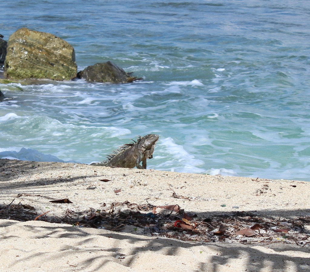 An Iguana emerges from the sea at the beachfront restaurant Mezza Luna