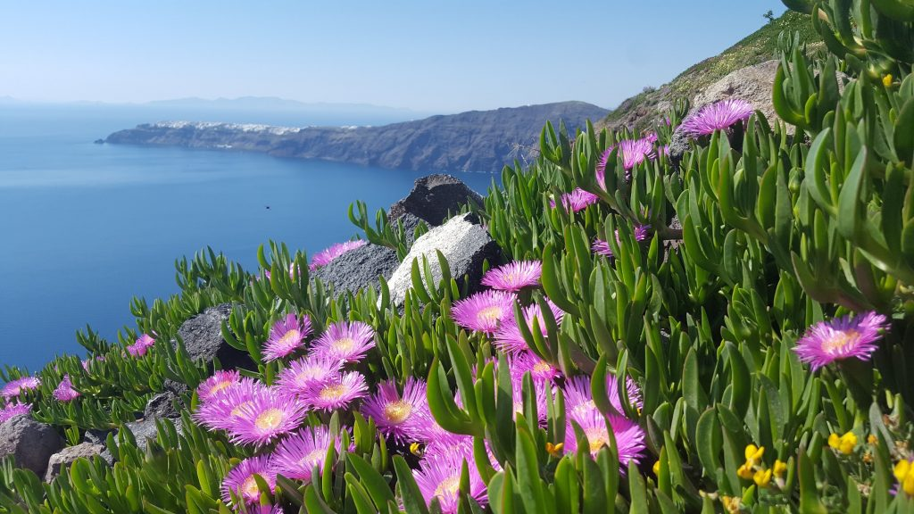 Pretty purple wild flowers cling merrily to the cliffside at Skaros enriching the place just by being there.