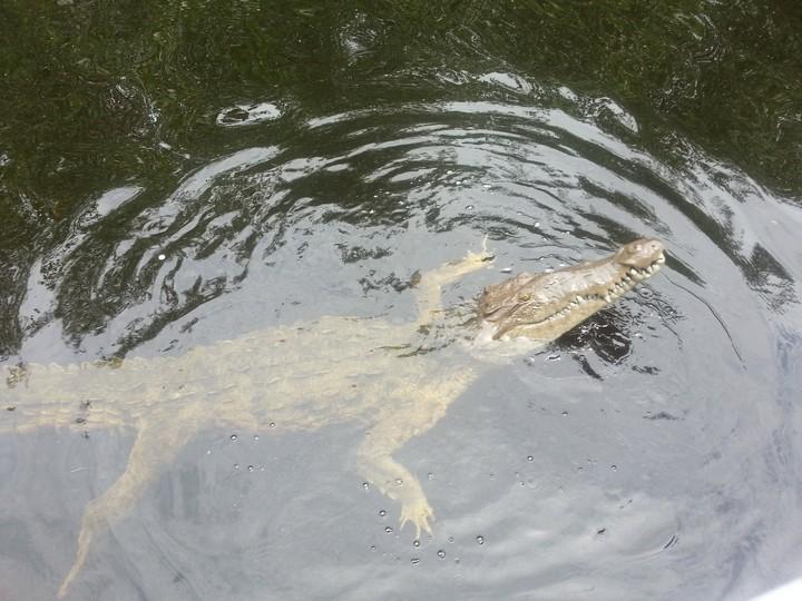 Crocodile at the Black River Safari