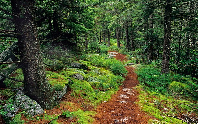 The Forest Trail and Nature in Barbados. A pine needle path winds languidly through the encompassing trees