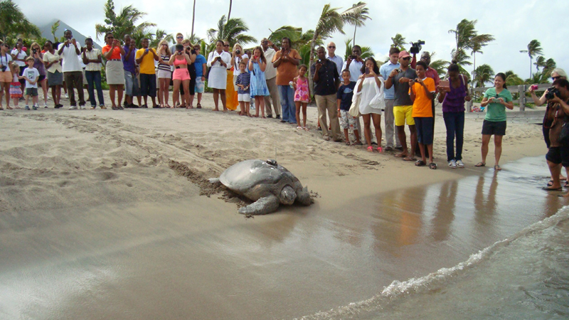 A massive turtles makes it's way through the sand into the sea watched by a line of people taking pictures.