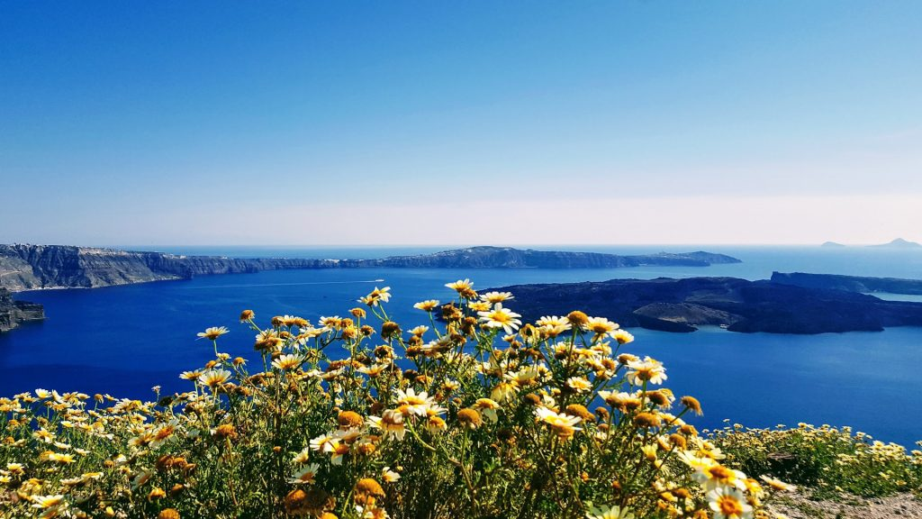 Pretty Yellow daisies bloom happily in front of a wide blue view of the horizon as seen from the cliffs at Santorini