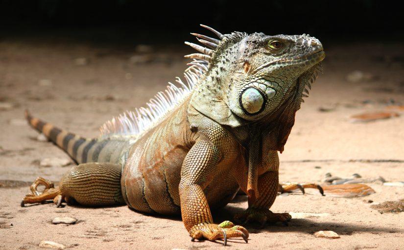 Iguana Close up