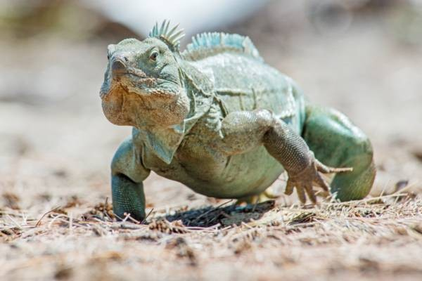 An iguana poses for a picture at the South Caicos Iguana Reserve