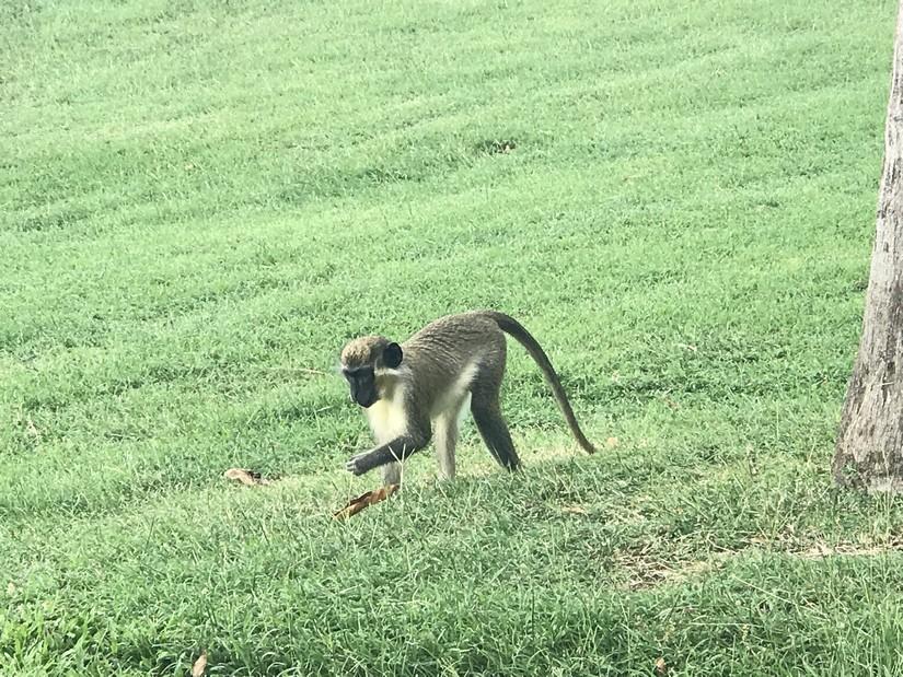 A monkey playfully interlopes into the garden at a Paradise Beach Resort Villa