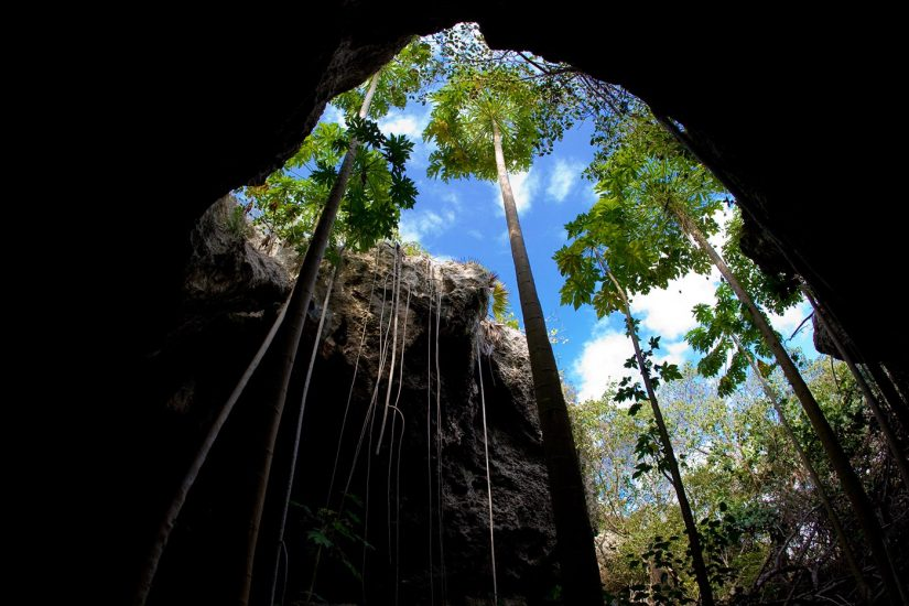 A huge palm tree grows from within a cave