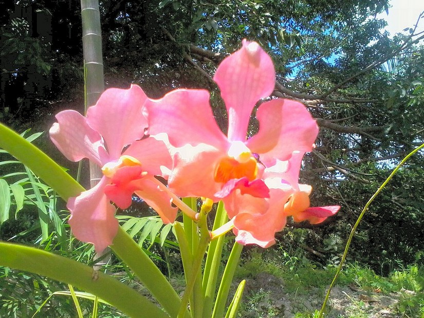 A pink orchid in Barbados