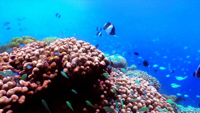 A massive pink coral reef teeming with tiny, brightly coloured fish of the coast of Barbados