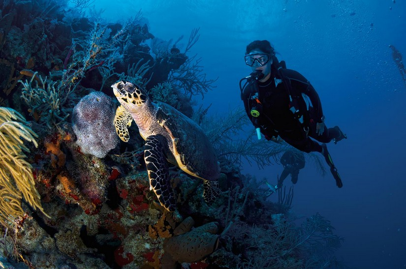 What is there to do in Turks and Caicos? Dive! A green turtle swims causally in front of a lady diver in front of a reef chaotically populated with coral and other wildly interesting marine life.