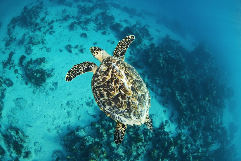 One of the best things to do in Turks and Caicos is SCUBA dive. You will see such things as the massive hawksbill turtle in this image, swimming lazily through the ocean