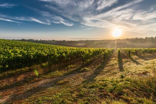 beautiful Italian vineyard at sunset