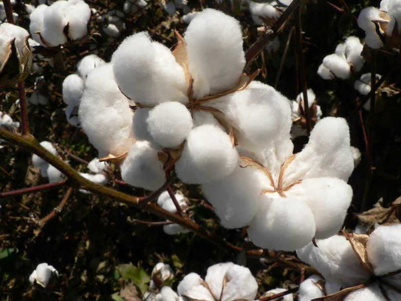 Cotton Plant gave Turks and Caicos meaning and a source of trade.