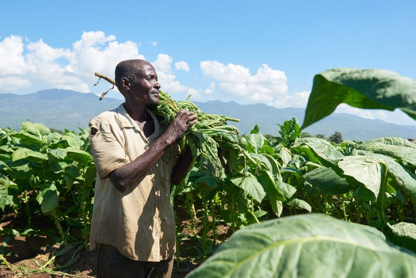 TObacco is one of the main products of the dominican republic. Here a tobacco farmer harvests his crop