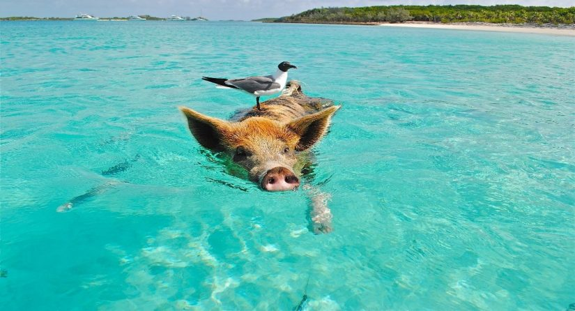 A black-headed gull perches on the back of a swimming pig in The Bahamas