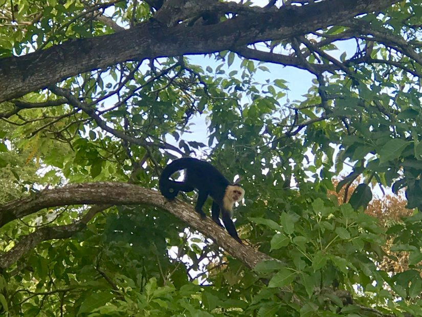 A monkey moving through the trees