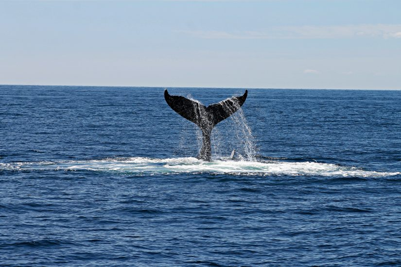 A great big whale tail sticking out of the water with much splashing