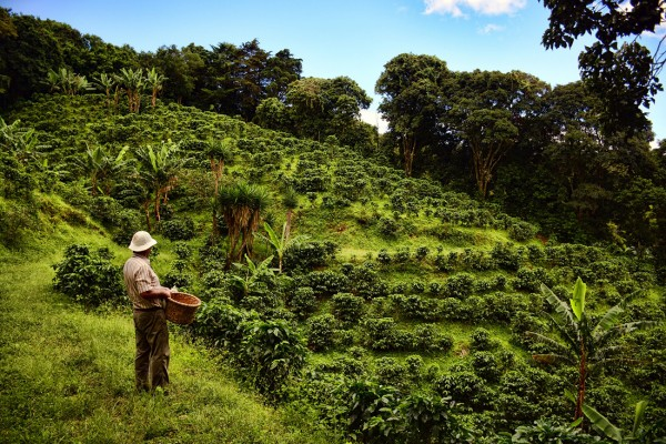 A coffee grower looks on to his coffee plantation