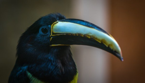 A Toucan sporting a wickedly sharp beak