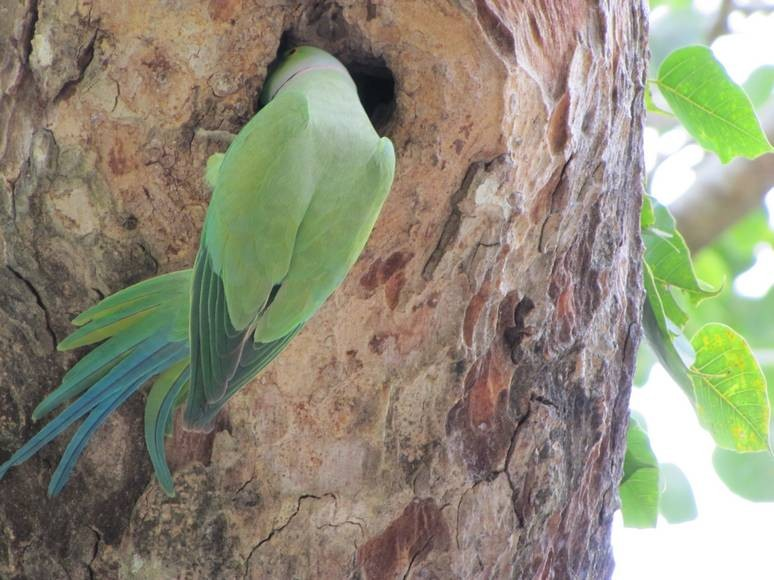A parakeet forages for food in a tree at Uda Alawe National Park