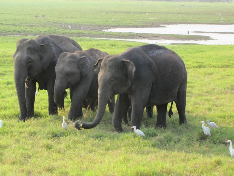 A group of three elephants in Sri Lanka