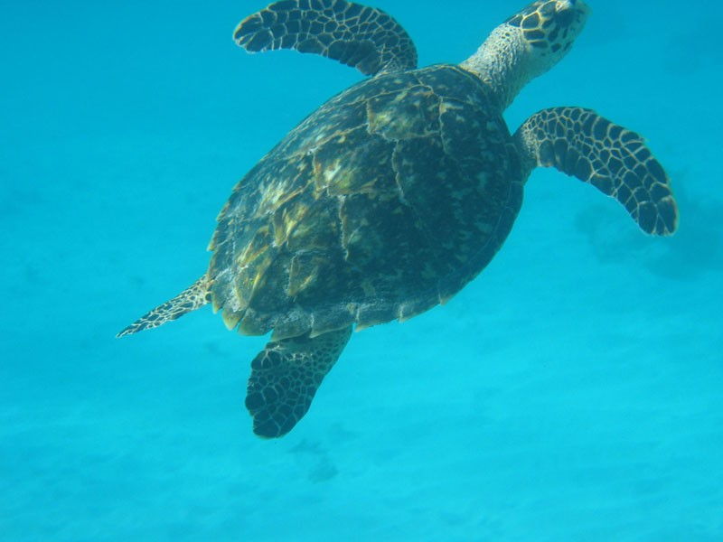 A close up of a turtle swimming lazily past a snorkler.